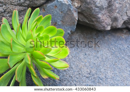 Thirst to the life.  Sempervivum  growing on the volcanic stones. Concept