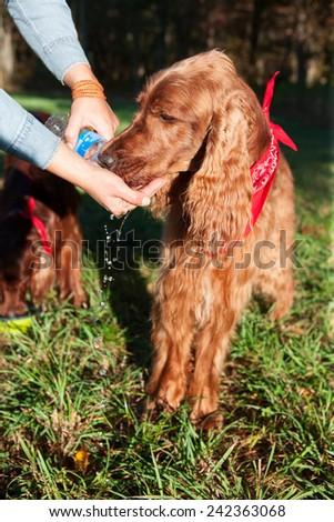 Thirsty dog drinking water - stock photo
