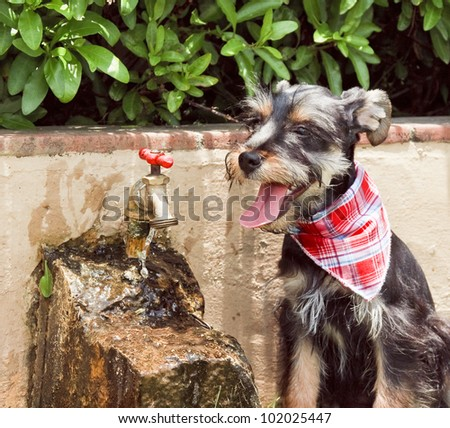 thirsty dog with neckerchief