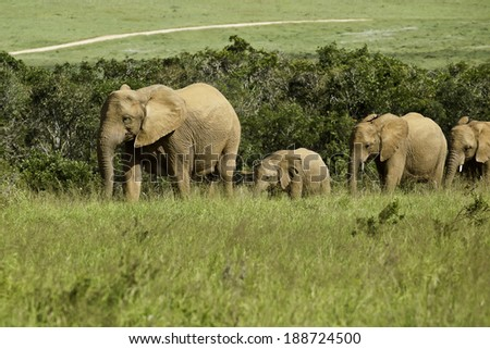 thirsty elephant family walking through the bush towards a water hole