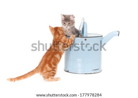 Thirsty ginger cat looking for water in light blue watering can, isolated on white - stock photo