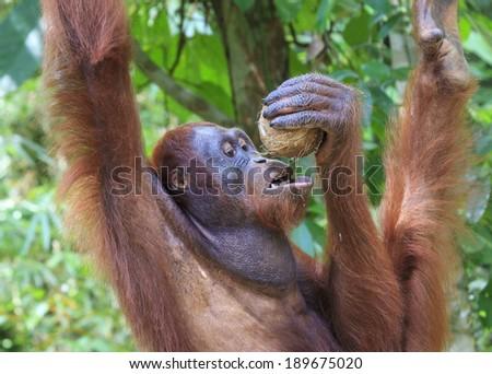 Thirsty Orangutan drinks Coconut juice - stock photo