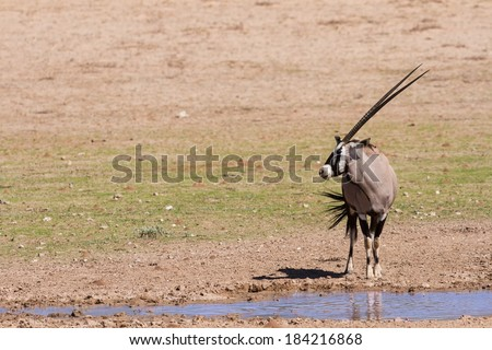 Thirsty Oryx drinking water at pond in hot and dry desert sun - stock photo
