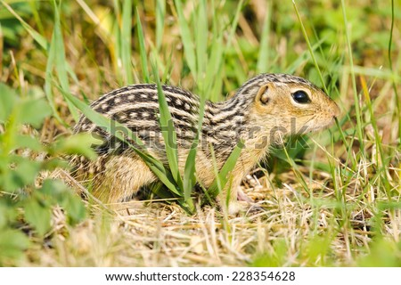 Thirteen-lined ground squirrel feeding on prairie grasses and flowers - stock photo