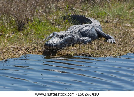 This alligator is basking in the Sun on the bank of the wetlands in Florida. - stock photo