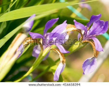 This beautiful purple iris,