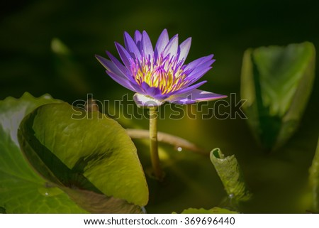 This beautiful waterlily or lotus flower.