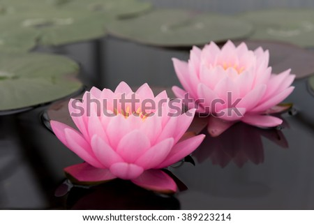 This beautiful waterlily or lotus flower