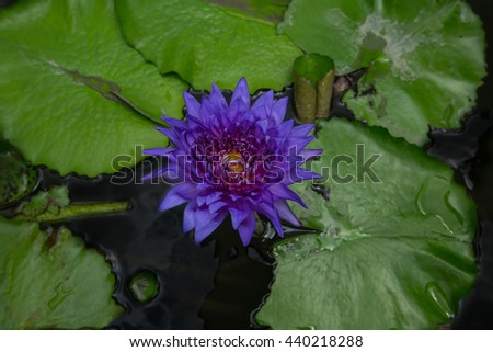 This beautiful waterlily or lotus flower is complimented by the rich colors of the dark color water surface. Saturated colors and vibrant detail, in vachirabenjatas Park  thailand - stock photo