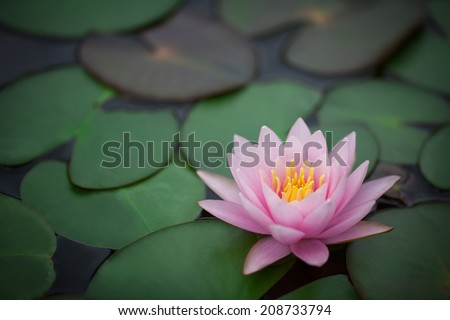 This beautiful waterlily or lotus flower is complimented by the rich colors of the deep blue water surface.  - stock photo
