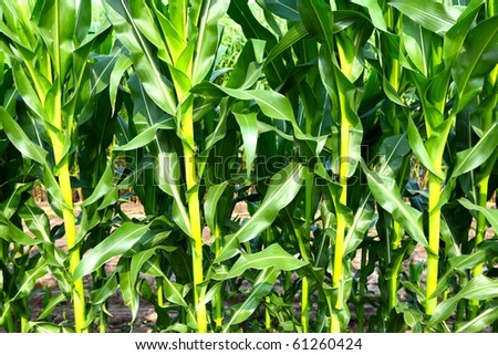 This corn field is vivid green in the summer sun. - stock photo