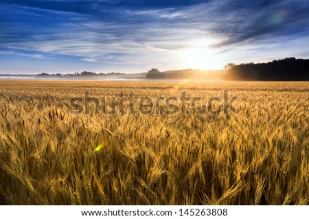 This field of wheat in central Kansas is nearly ready for harvest. An unusual misty morning added a low fog and misty drops to the wheat stalks. Focus is on wheat closest in foreground. - stock photo