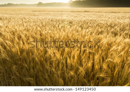 This field of wheat in central Kansas is nearly ready for harvest. An unusual misty morning added a low fog and misty, jeweled droplets to the wheat stalks. - stock photo