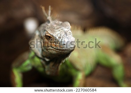 This genuine Iguana is a genus of herbivorous lizards native to tropical areas of Mexico, Central America, several islands in Polynesia such as Fiji and Tonga, and the Caribbean. Iguanas are fun pets - stock photo