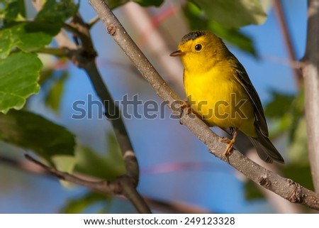 This Goldfinch perched and relaxing in the sun. - stock photo