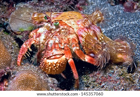 This hermit crab was shot during a night dive off of Big Island, Hawaii.  It has green expressive eyes and carries a bunch of anemones on its back.  - stock photo