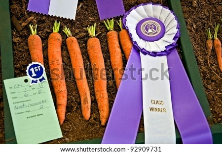 This horizontal stock image is of prize winning fresh Imperator carrots complete with both a purple ribbon and blue ribbon from a state fair. - stock photo