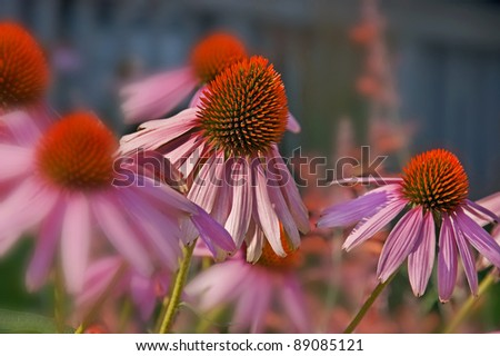 This image is Echinacea Pallida, commonly known as pink coneflower a beautiful summer perennial garden plant and herb.  Background intentionally blurred for artistic effect. - stock photo