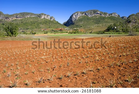 This image shows a pineapple field in Vinales, Cuba