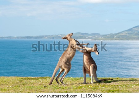 This image shows Kangaroos fighting in Emerald Beach, Australia