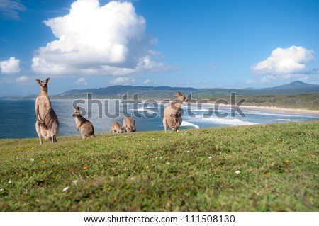 This image shows Kangaroos in Emerald Beach, Australia - stock photo