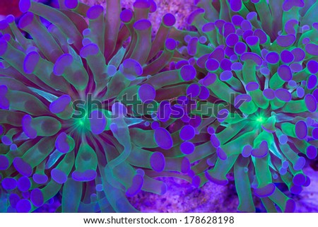 This is a branching torch coral, Euphyllia glabrescens - stock photo