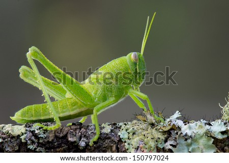 This is a bright green grasshopper nymph sitting on a lichen covered branch