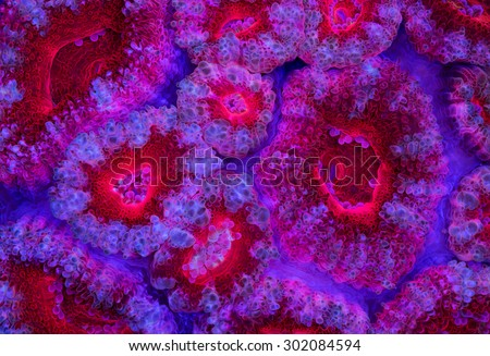 This is a bright red Acanthastrea colonly. - stock photo