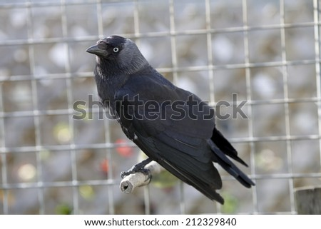 This is a captive Jackdaw, black bird member of the crow corvid family.  The background is a muted grey out of focus aviary bars. - stock photo