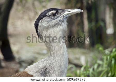 this is a close up of a Australian bustard