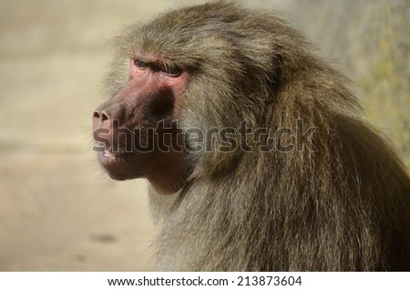 this is a close up of a baboon - stock photo