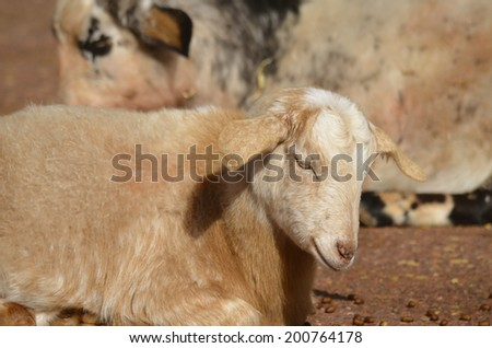 this is a close up of a baby goat, kid - stock photo