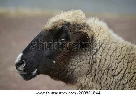 this is a close up of a black faced sheep - stock photo