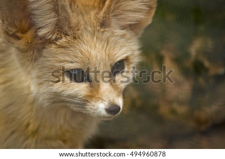 this is a close up of a fennec fox