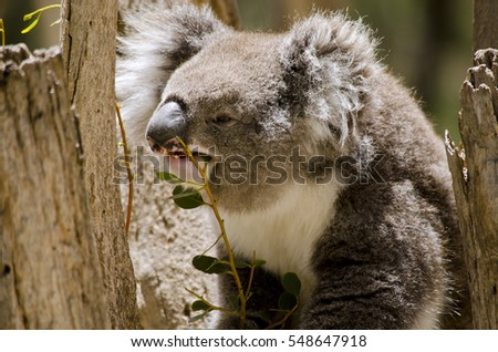 this is a close up of a koala is eating leaves