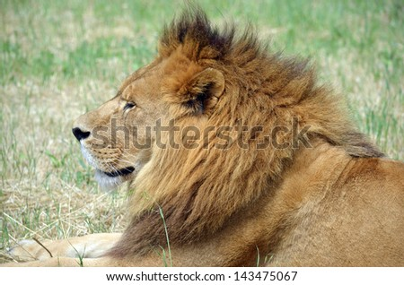 this is a close up of a lion resting