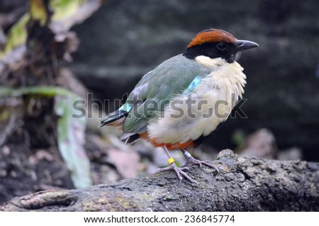 this is a close up of a noisy pitta - stock photo