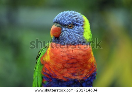 this is a close up of a rainbow lorikeet - stock photo
