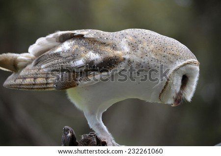 this is a close up of a side view of a barn owl - stock photo