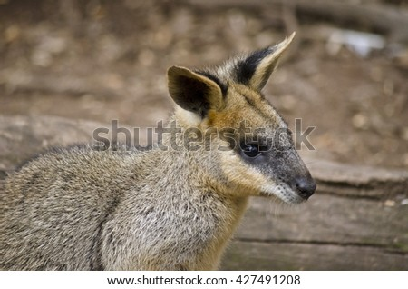 this is a close up of a swamp wallaby