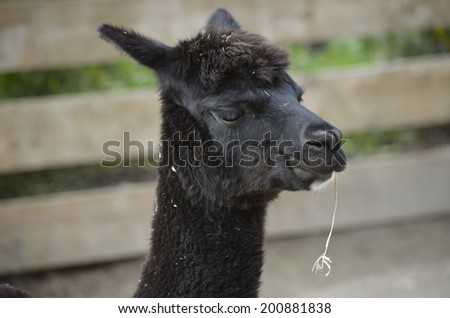 this is a close up of an alpaca eating straw - stock photo