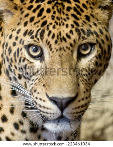 This is a close-up of the leopard ( panther, Panthera pardus).  - stock photo