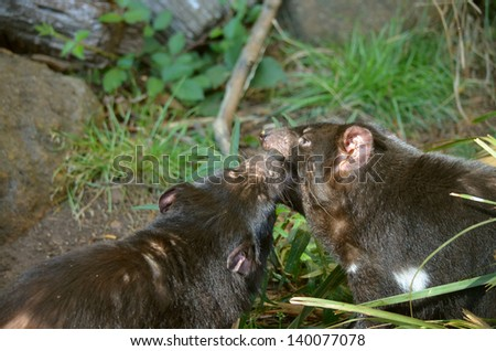 this is a close up of two Tasmanian devils fighting - stock photo