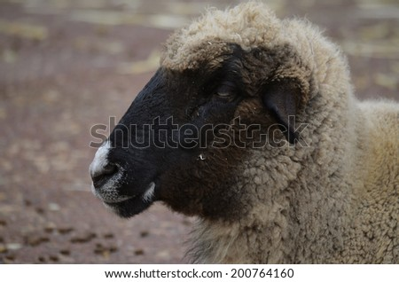 this is a closeup of a black sheep - stock photo