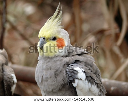 this is a closeup of a cockatiel - stock photo