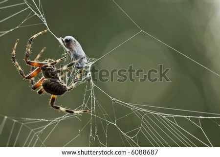 This is a closeup of a large spider on it's web wrapping an insect that was just tangled it the web. - stock photo