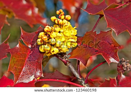 This is a closeup of the yellow Oregon grape Mahonia aquifolium flower on reddish, very shiny leaves.  Beautiful nature image of this plant. - stock photo