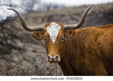 This is a closeup portrait of a Texas Longhorn. - stock photo