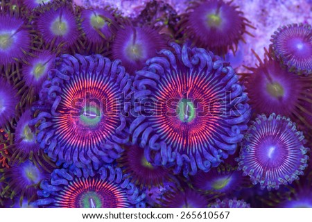 This is a colony of armor of god palythoa polyps and zoanthid polyps on a rock.