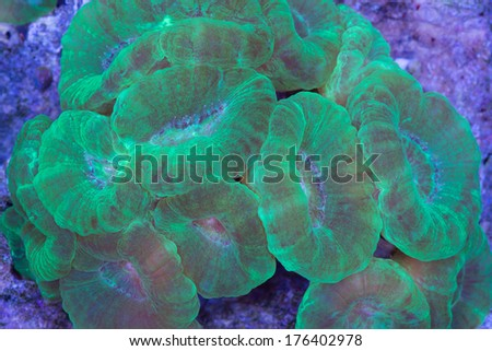 This is a colony of neon green Caulastrea with its feeding tentacles extended out. - stock photo